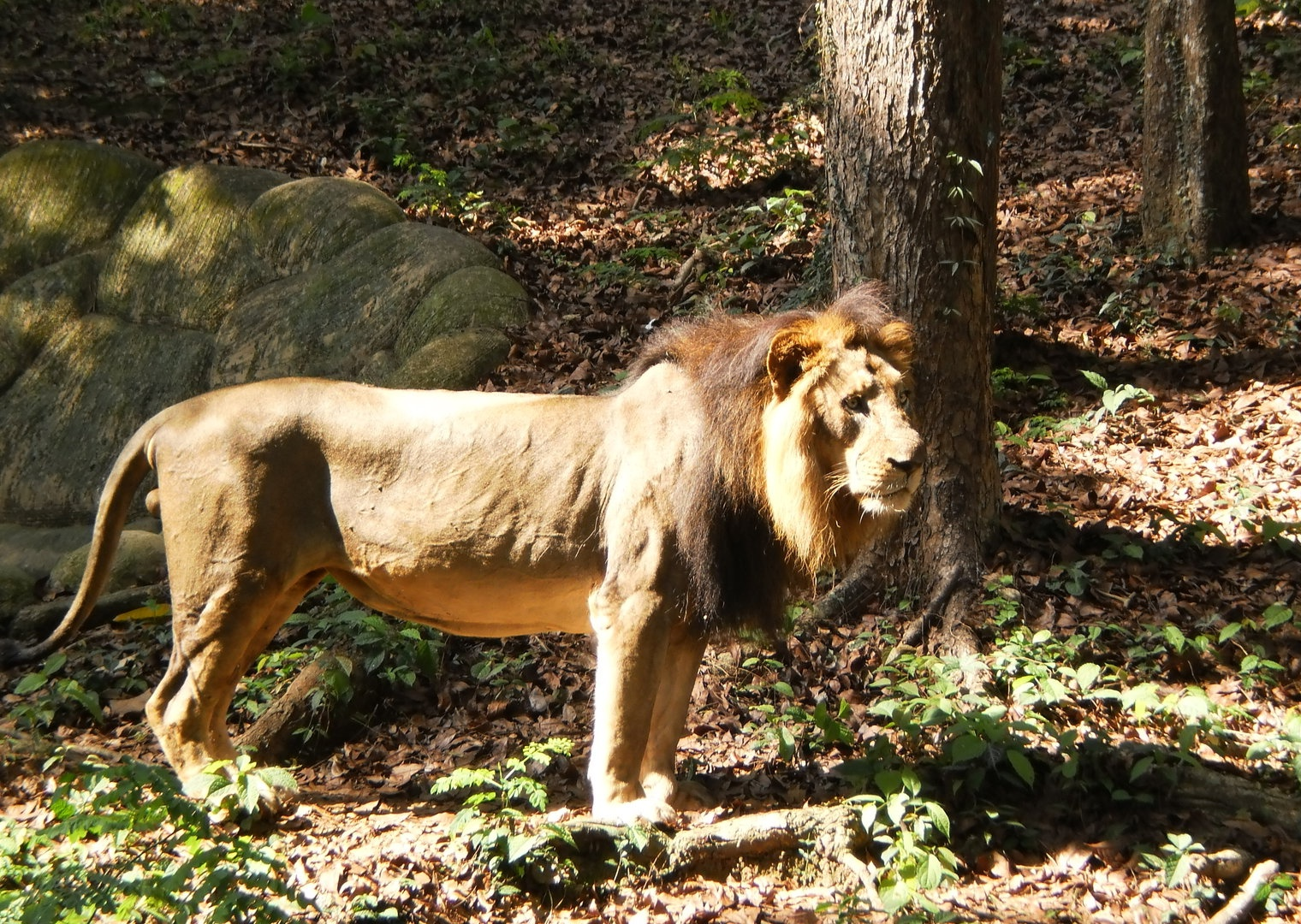 Description Lion-in-thiruvanathapuram-zoo-natural-habitat.JPG