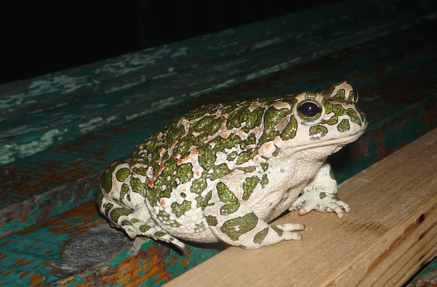 Description Bufo viridis sc.JPG