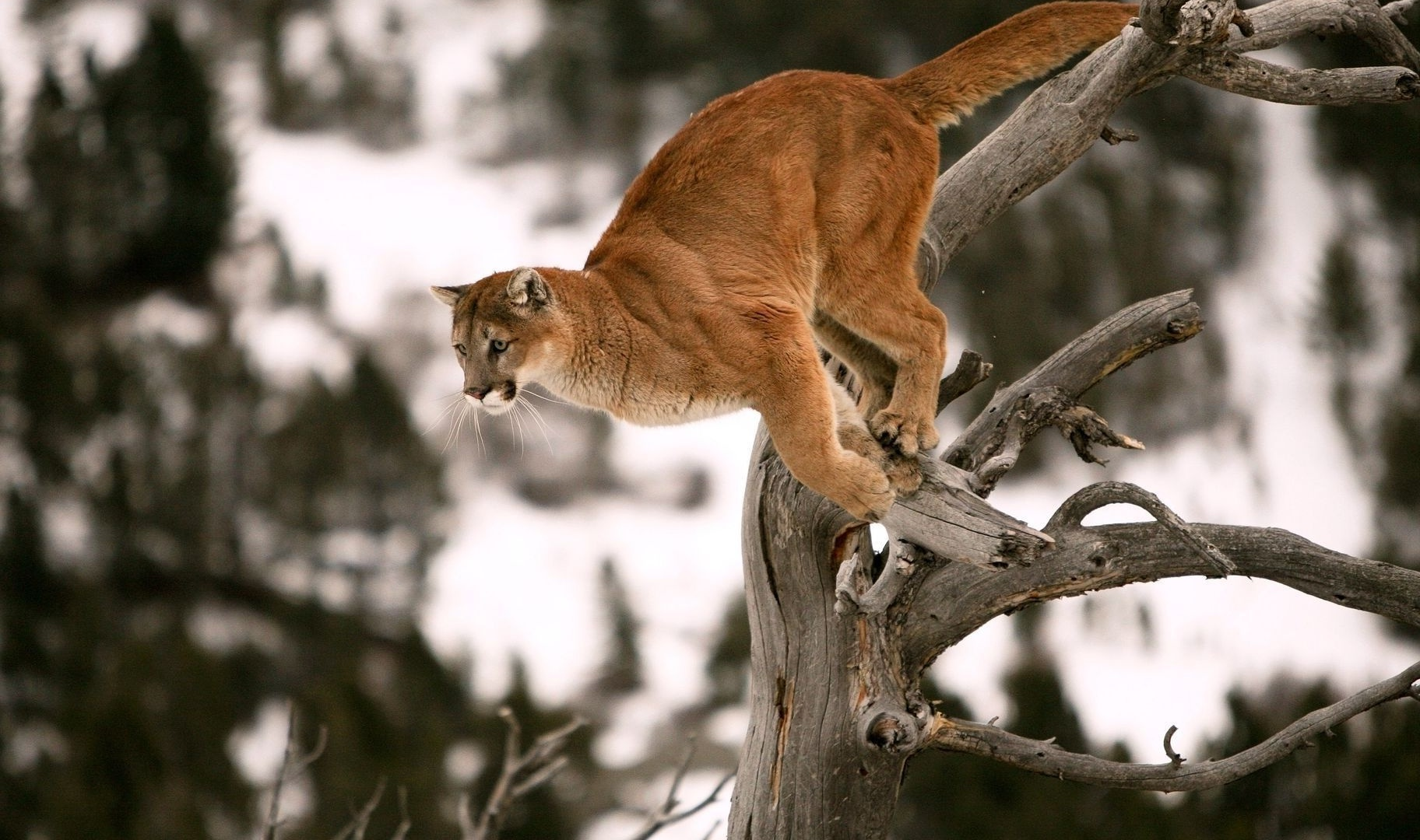 Cougar Jump On Tree | 1920 x 1200 | Download | Close