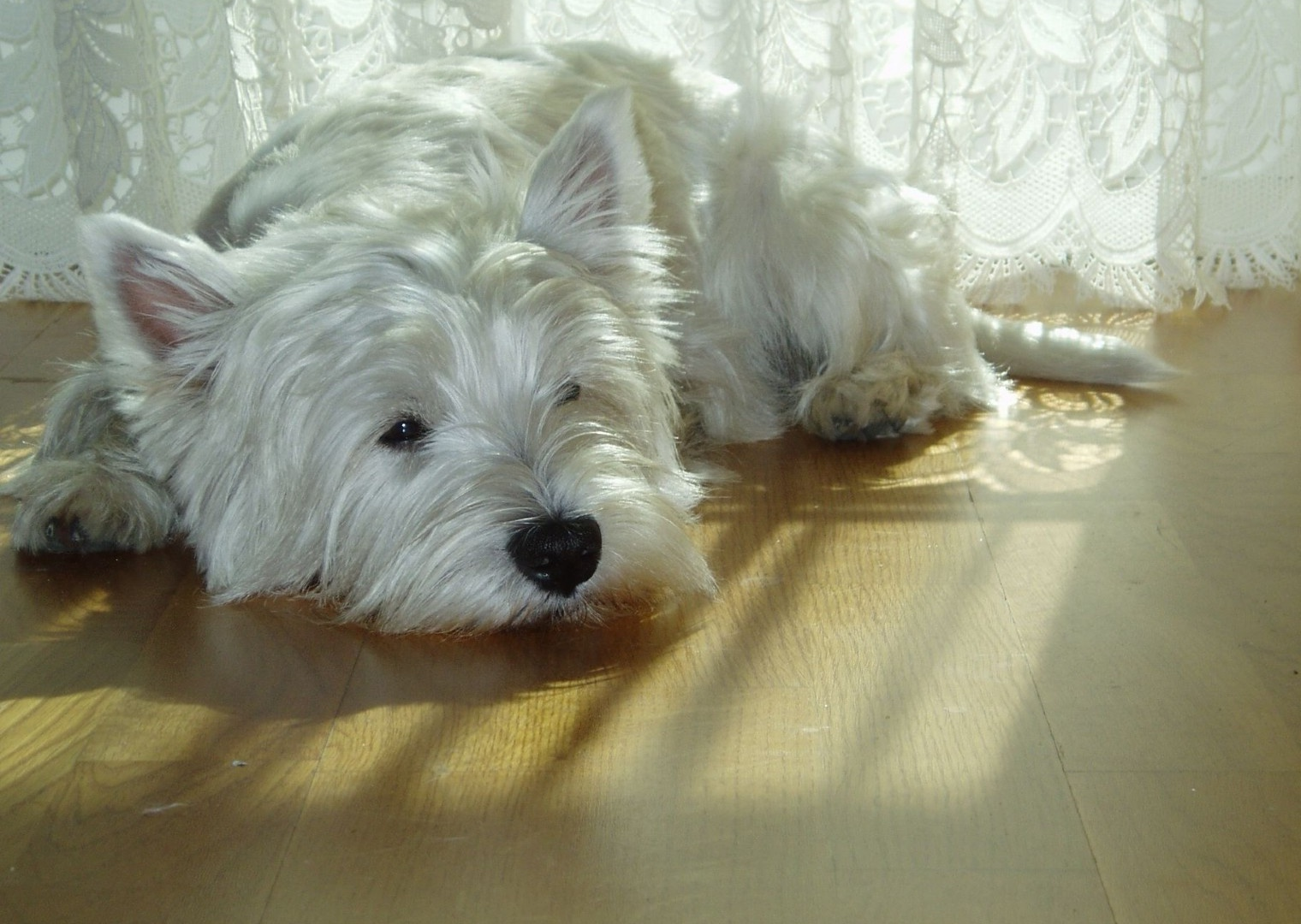 West Highland White Terrier 1600x1200 STANDARD