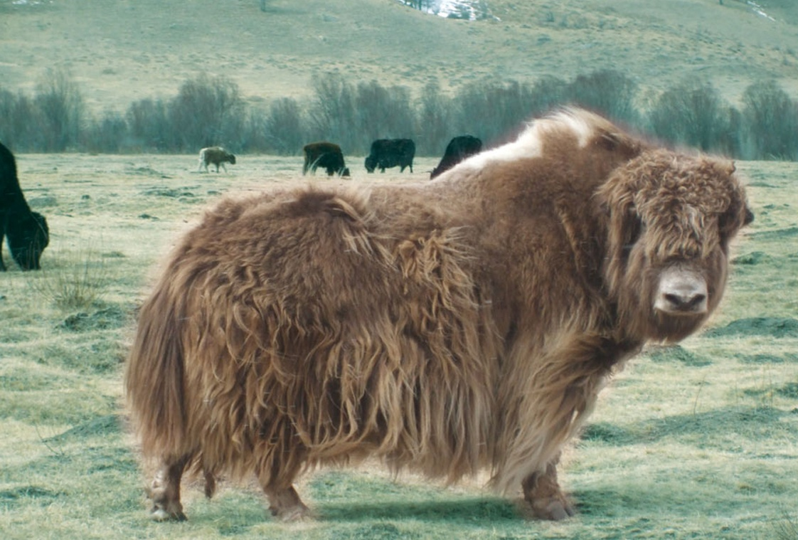 Mongolian yak down, the new luxury fibre | The Ethical Fashion Source