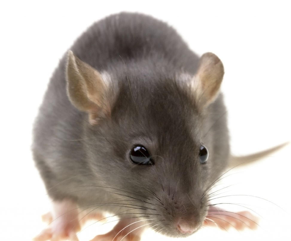 Rat Wallpapers and Pictures