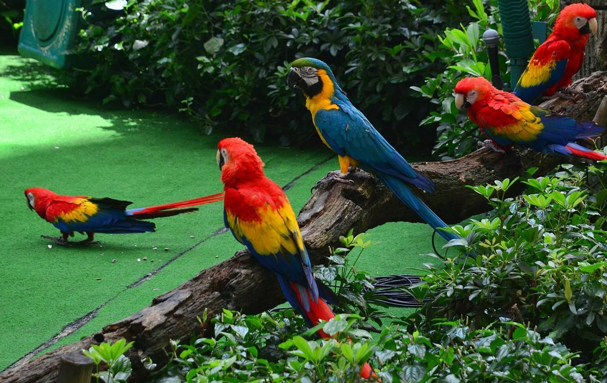 Colorful Macaws - PetPictureGallery.com