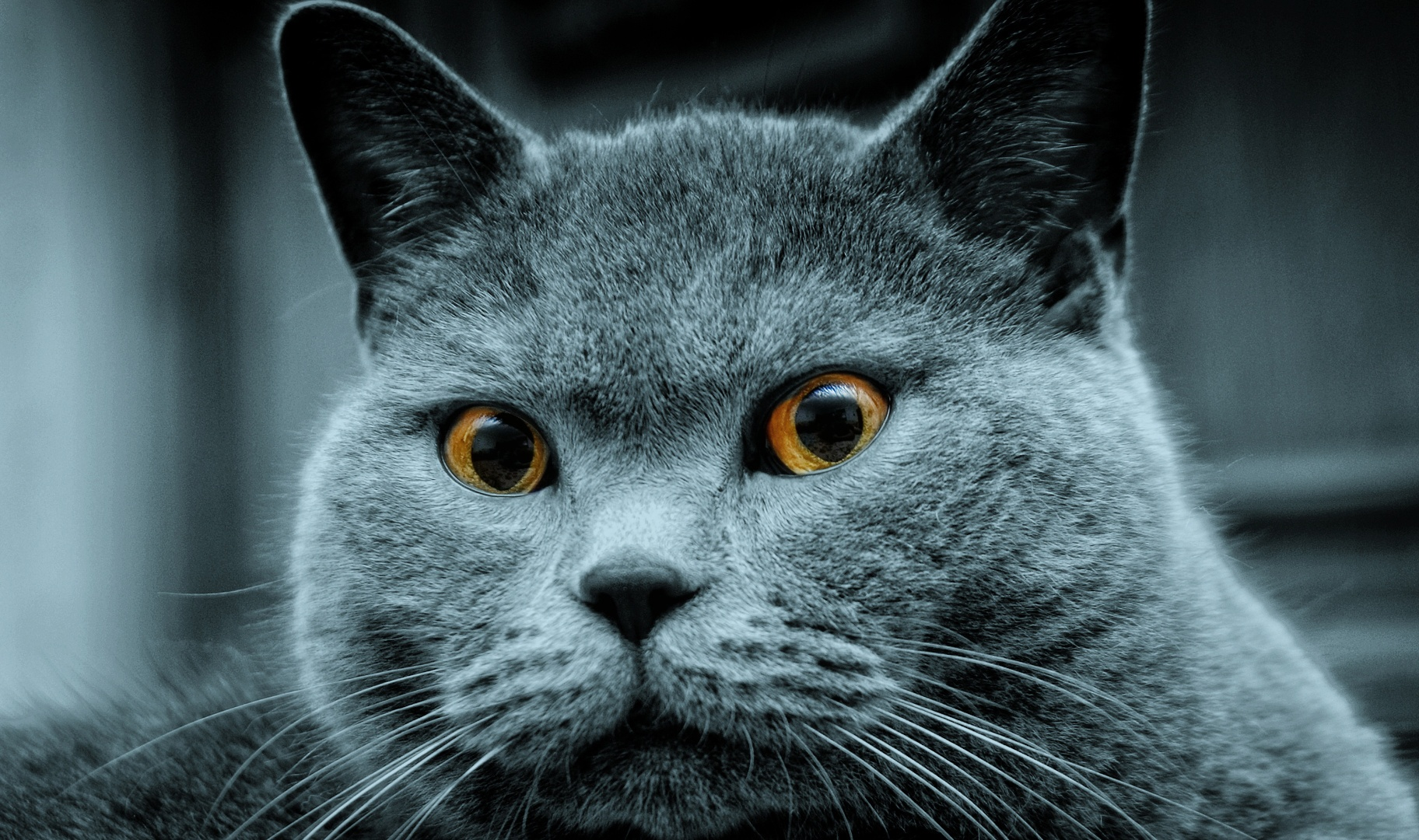 Russian blue cat / 1920 x 1200 / Animals / Photography | MIRIADNA.COM