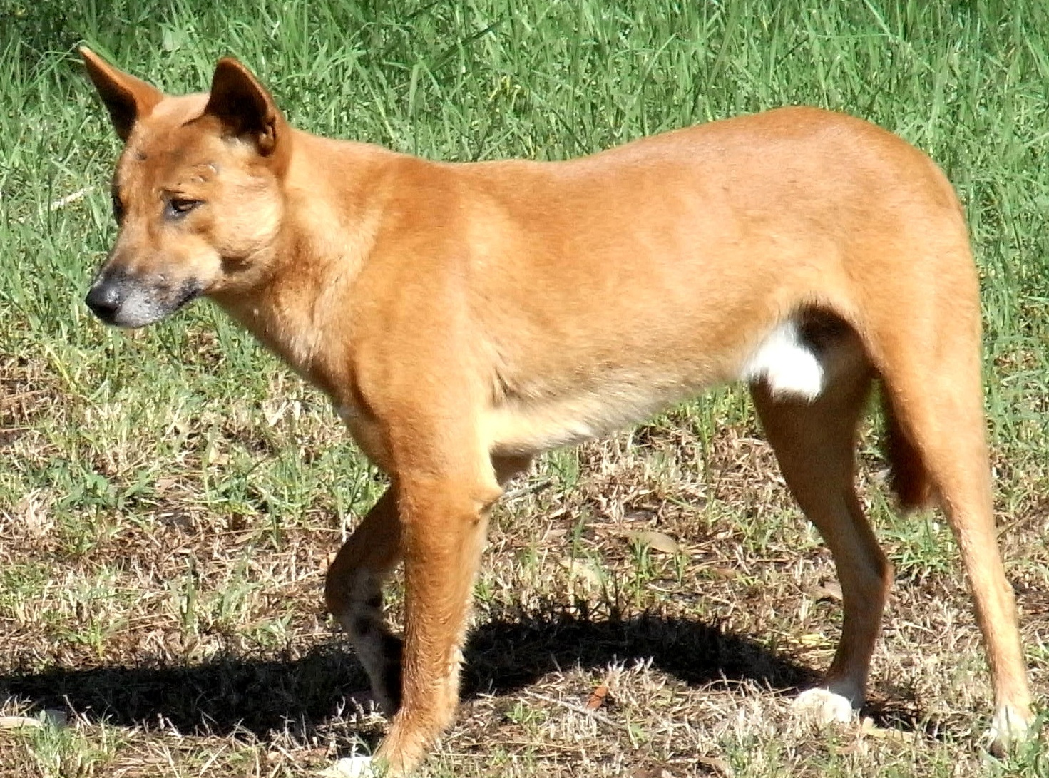 pictures of dingo