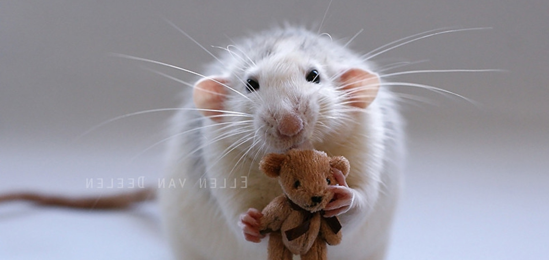 ... white rats displaying 20 images for baby white rats toolbar creator