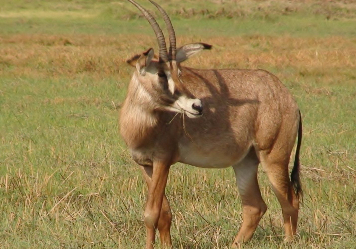 Description Roan Antelope, Kafue National Park, Zambia, Nov 2011.jpg