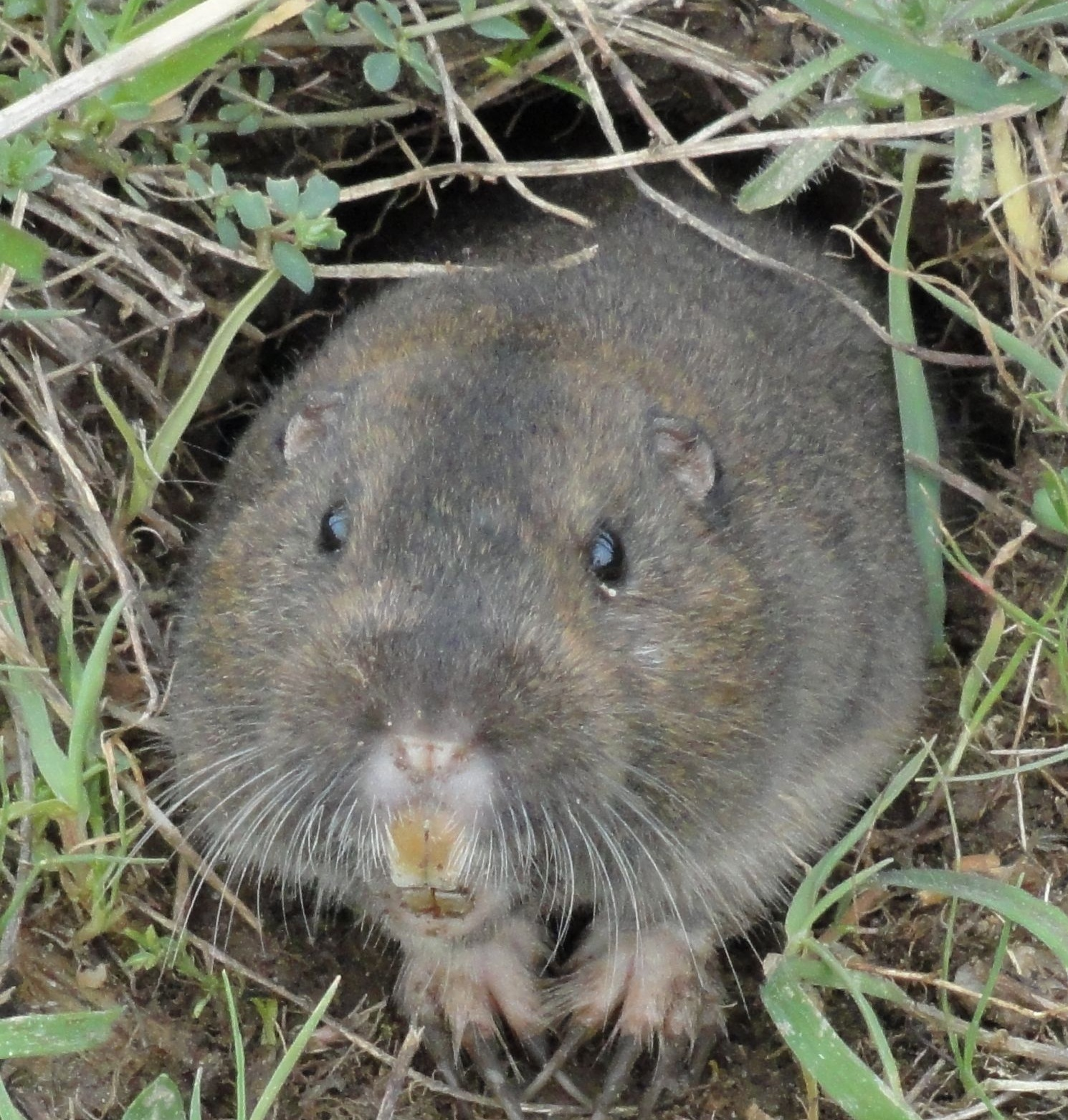 pocket gopher pictures