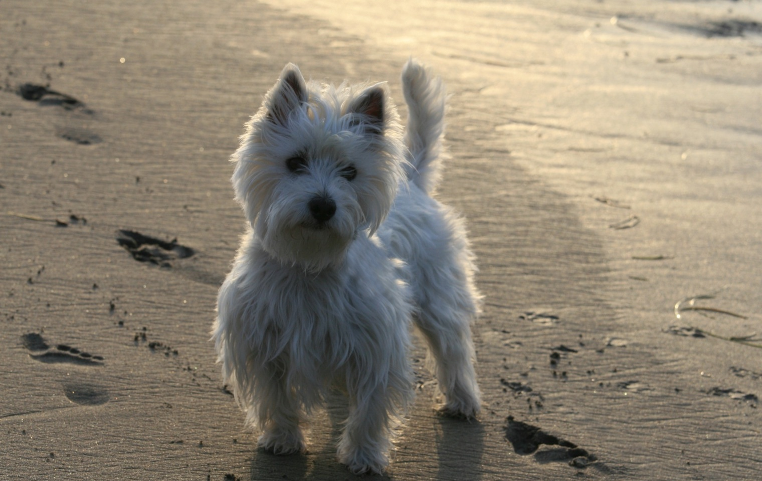 Descrizione West Highland White Terrier Yoshi.jpg