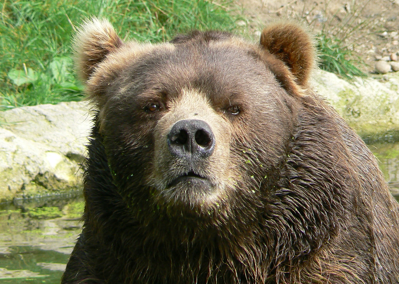Description Male kodiak bear face.JPG
