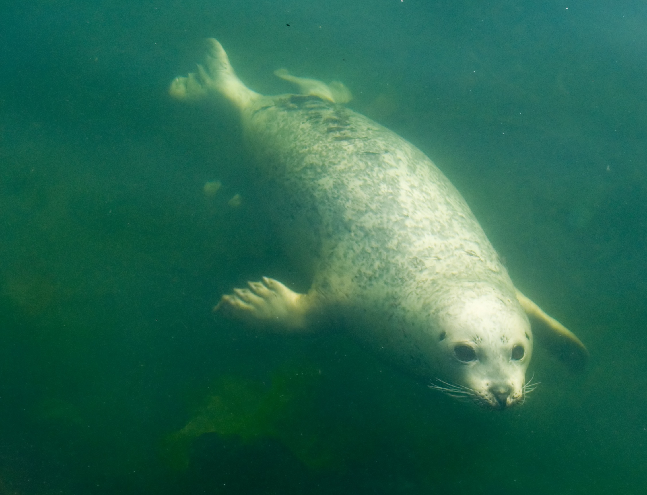 Description Pinniped underwater.jpg