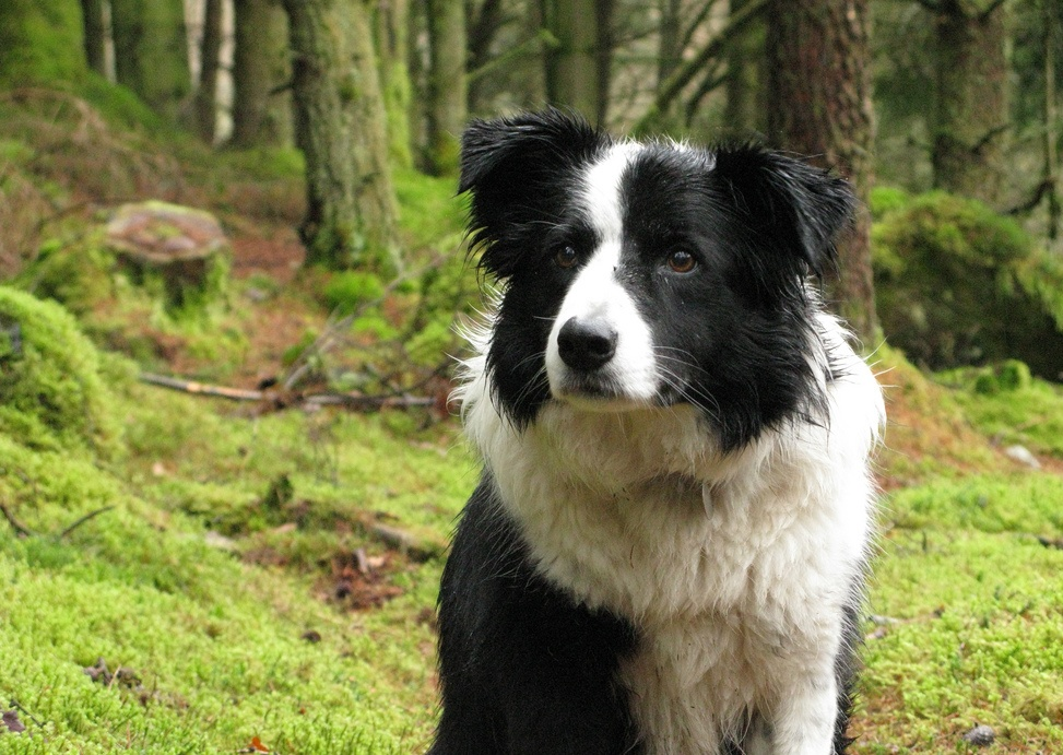 Description Gwen the Border Collie.jpg