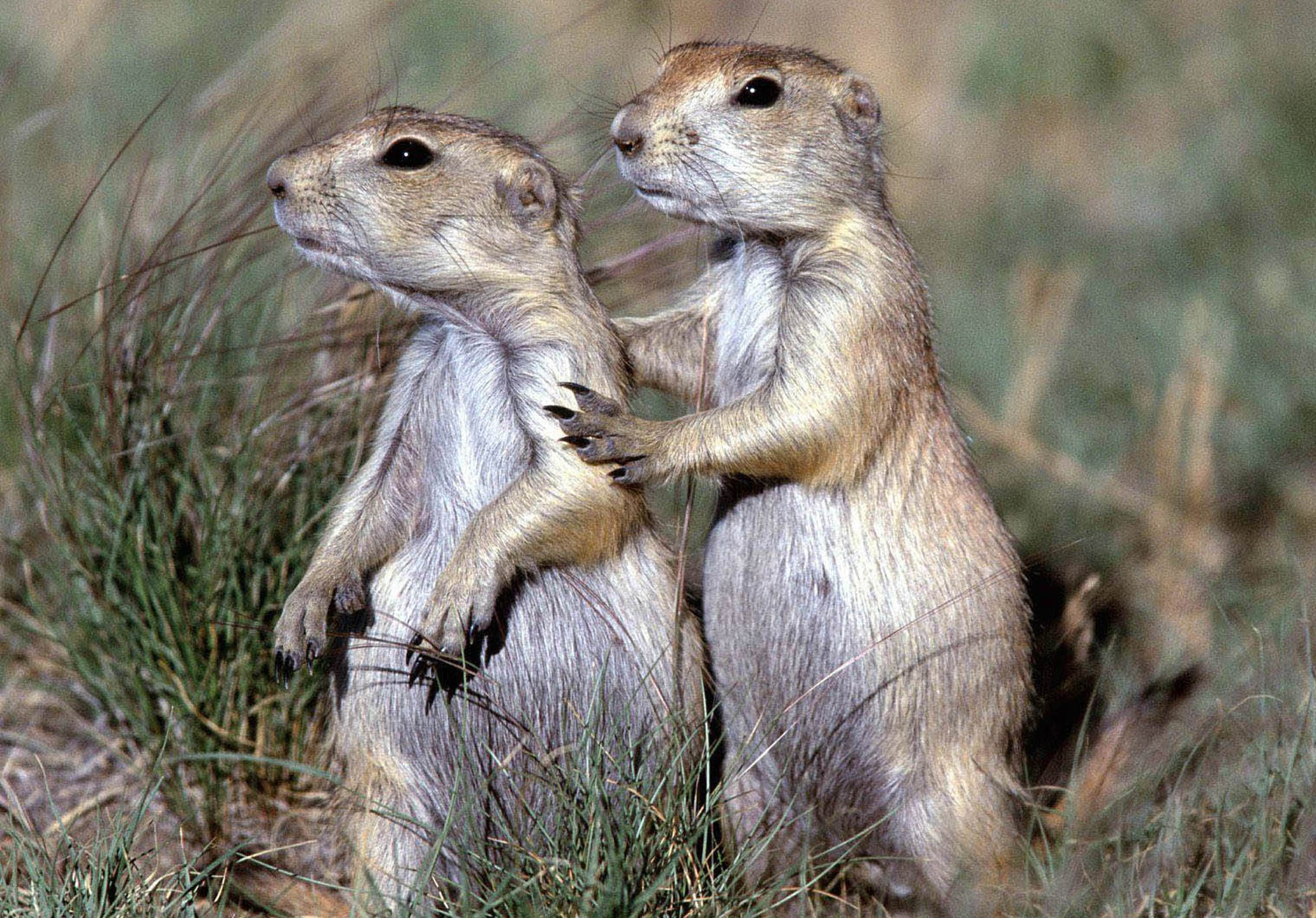 Prairie Dogs | New Mexico Wilderness Alliance