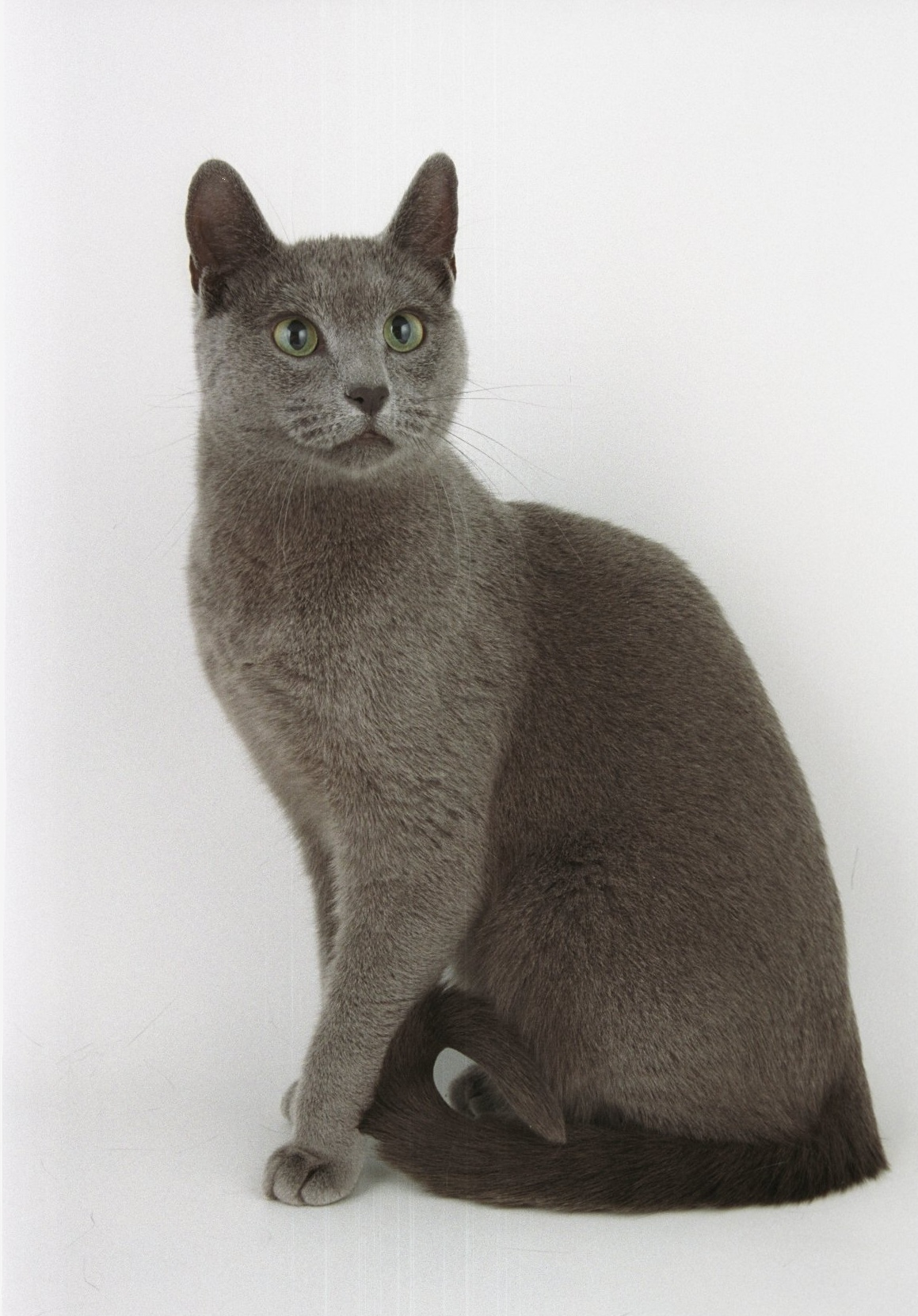 Russian Blue Cats For Salemelissawildflwrchild