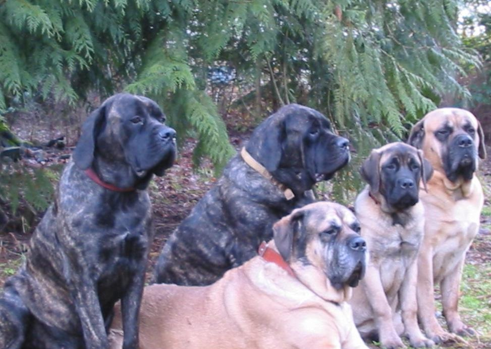 Old English Mastiff dogs free wallpaper in free pet category: Dog