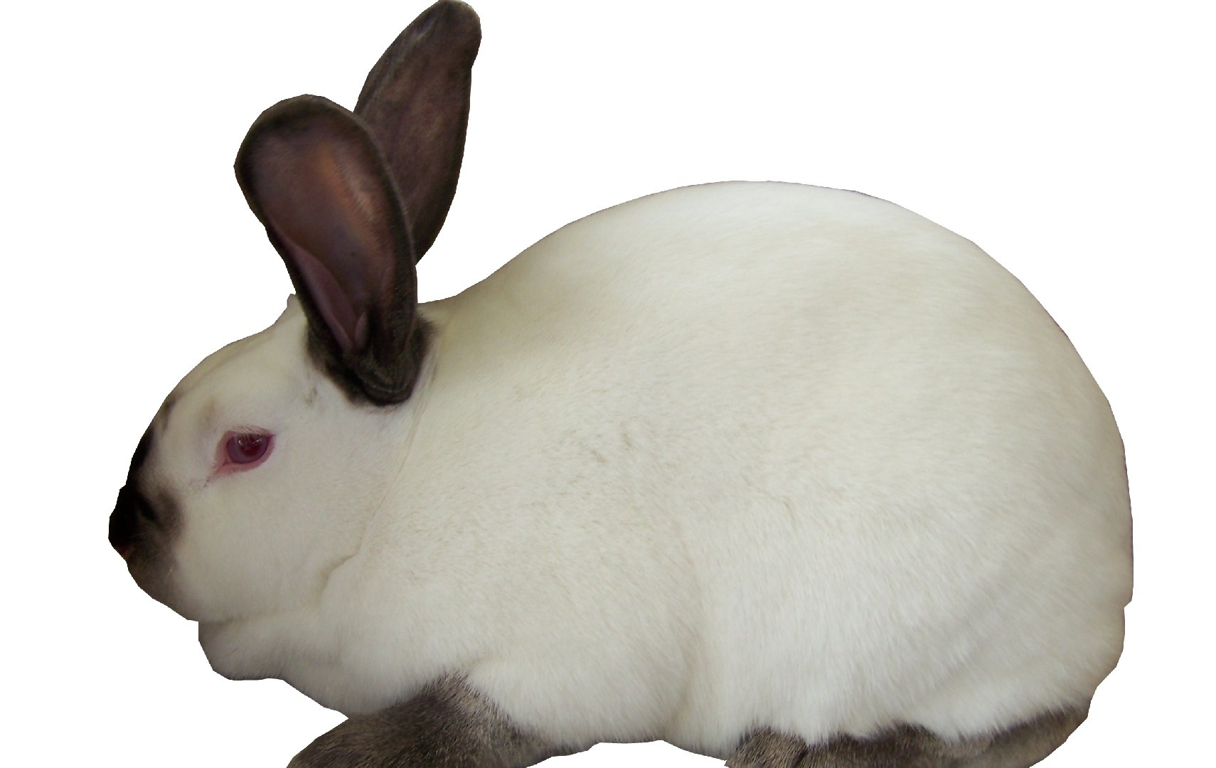 Californian Rabbits | USA Rabbit Breeders