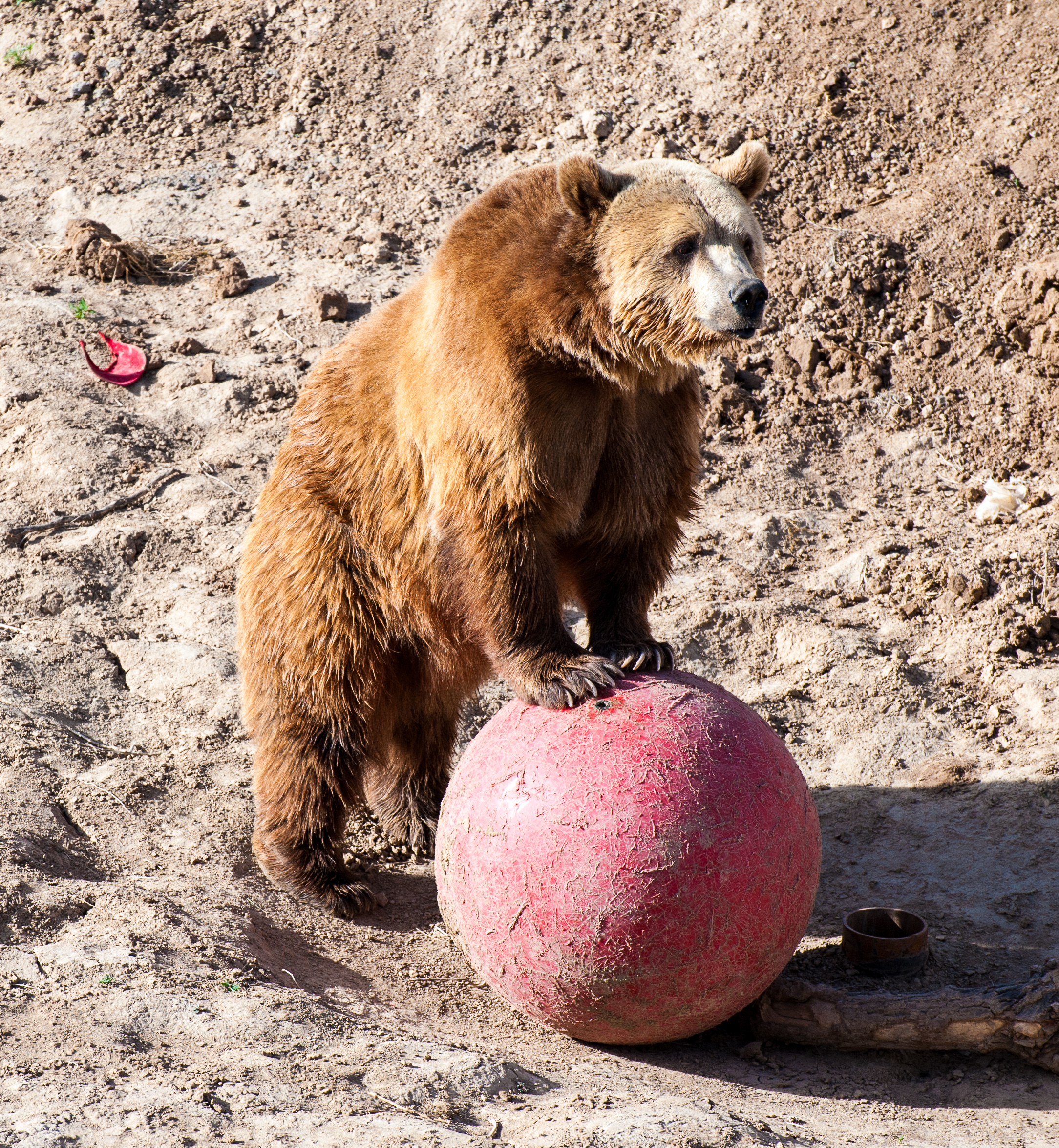 Description Grizzly bear at Wild Animal Sanctuary.jpg