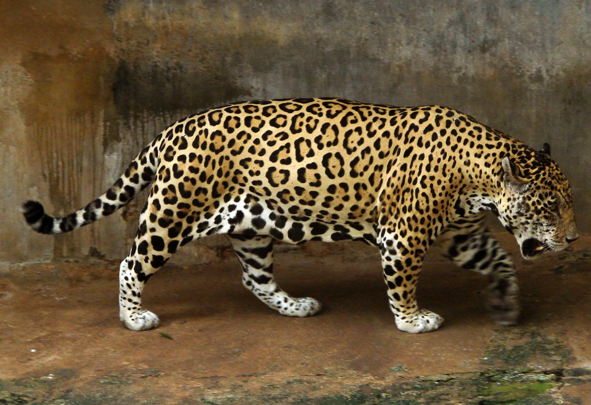 Description Jaguar full.jpg