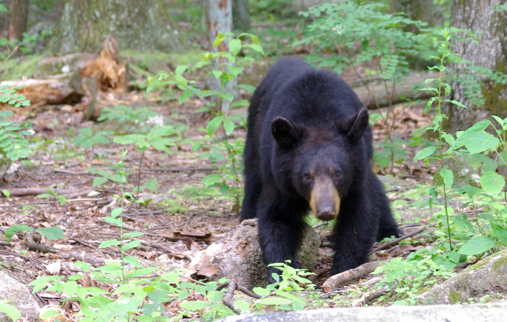 Description Juvenile American black bear at Old Rag mountain.jpg