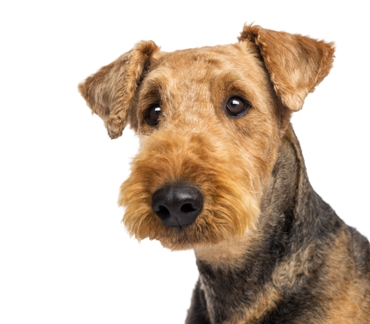 airedale dog pictures