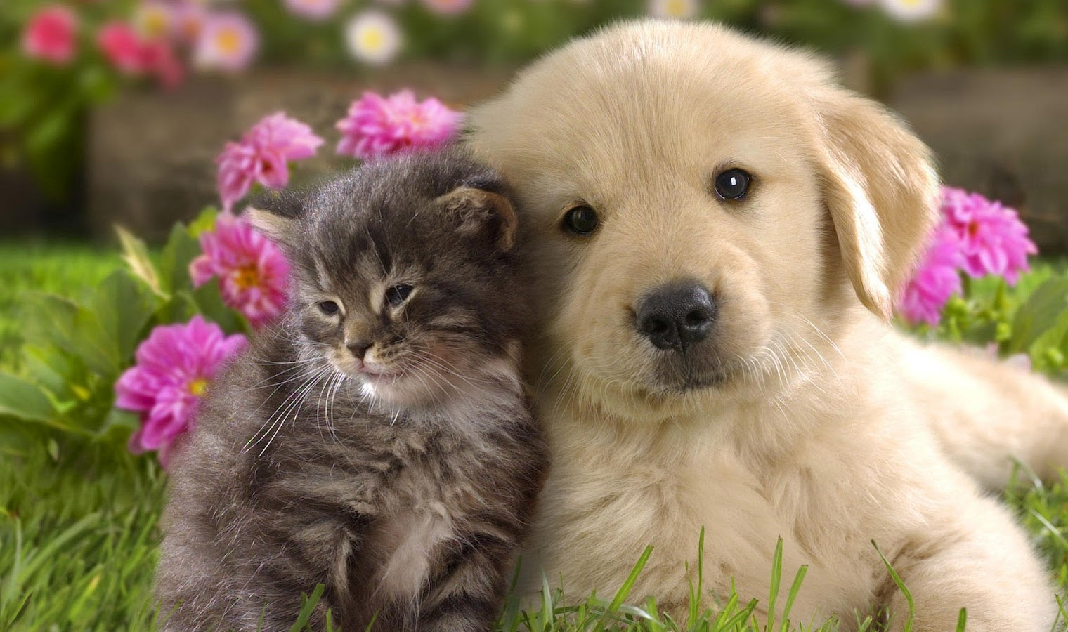 Animal Cute Cat And Dog Cuddling Cats Dogs HD Wallpaper