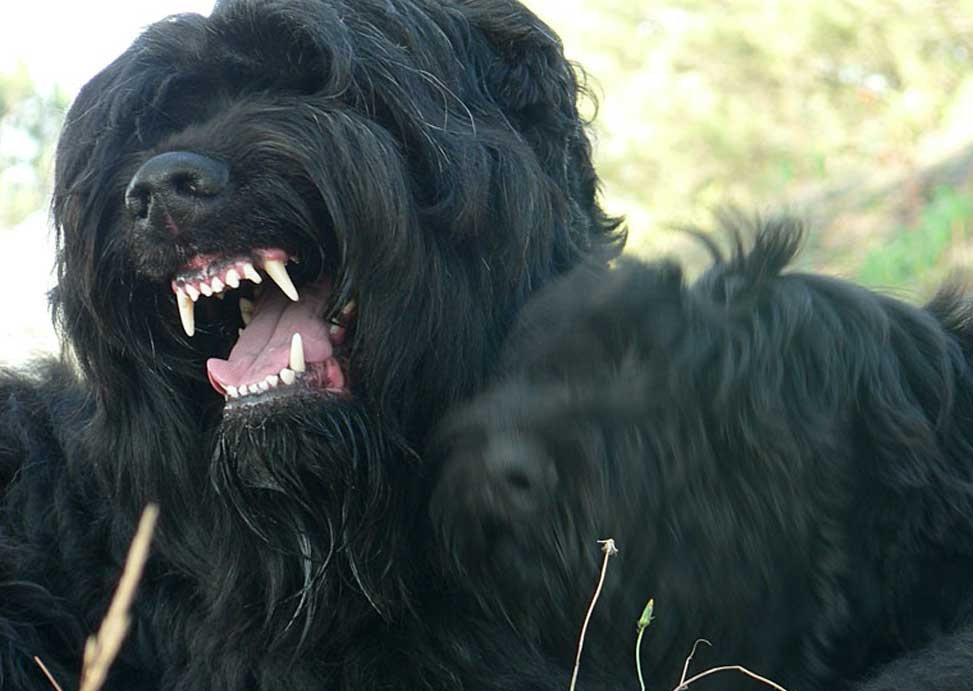 Terrier Facts Information All About Black Russian Terrier Training