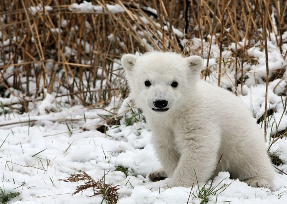 polar bear baby desktop wallpaper download polar bear baby wallpaper ...