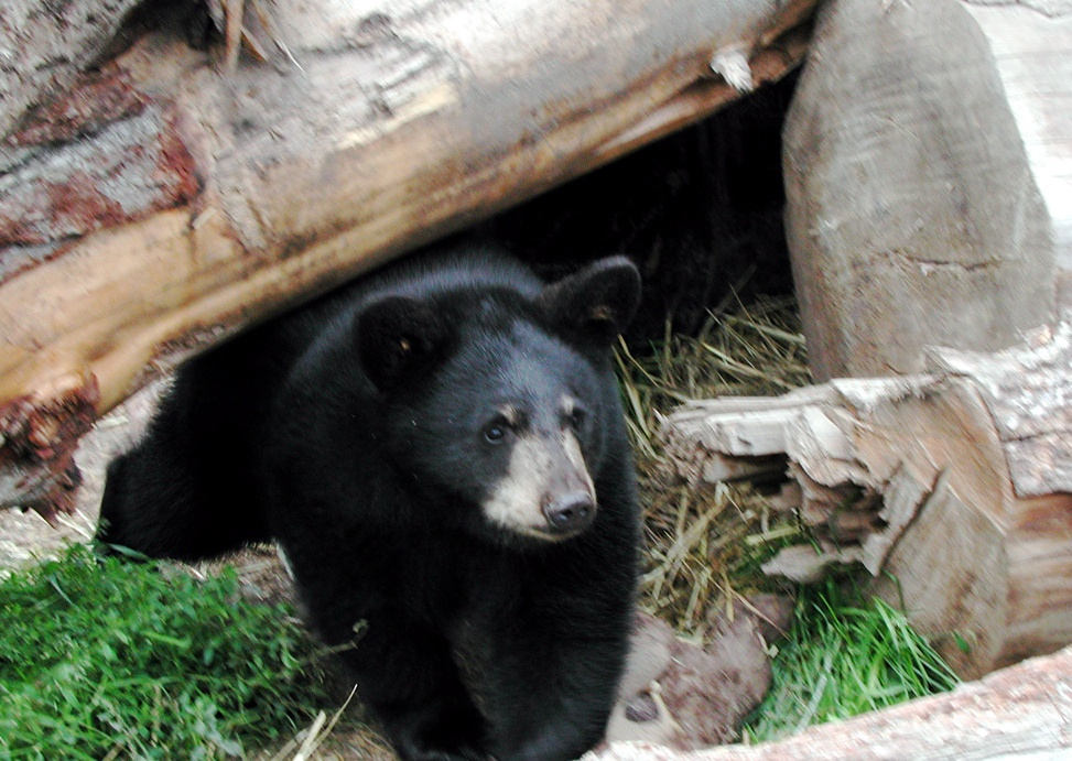 Snooze and lose?: A famous black bear (not this one pictured, however ...