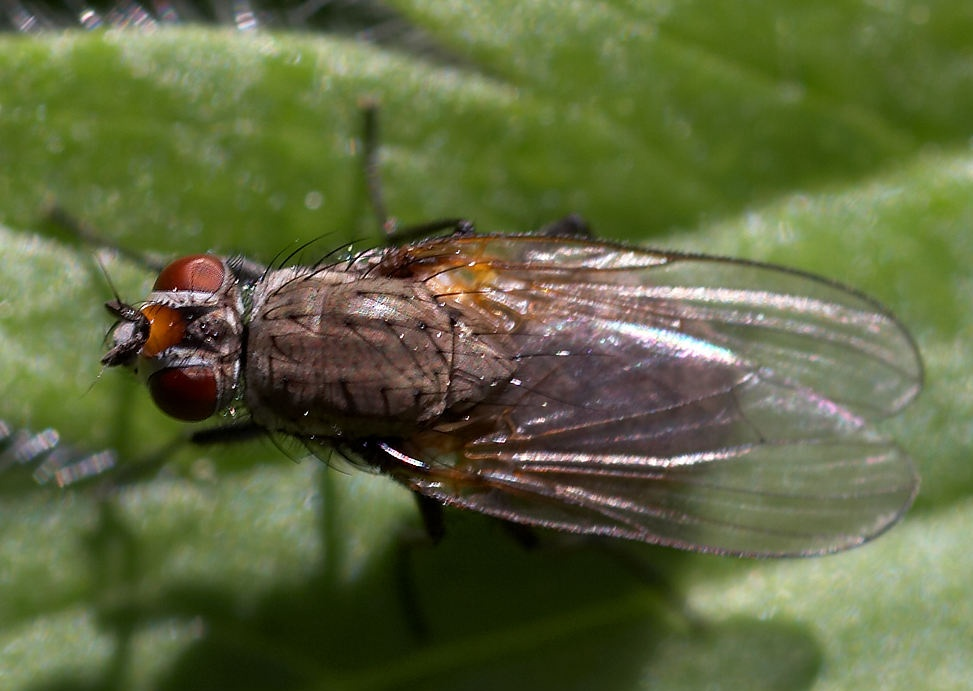 fly bugs insects ( fly bugs insects.jpg ) Public domain image, royalty ...