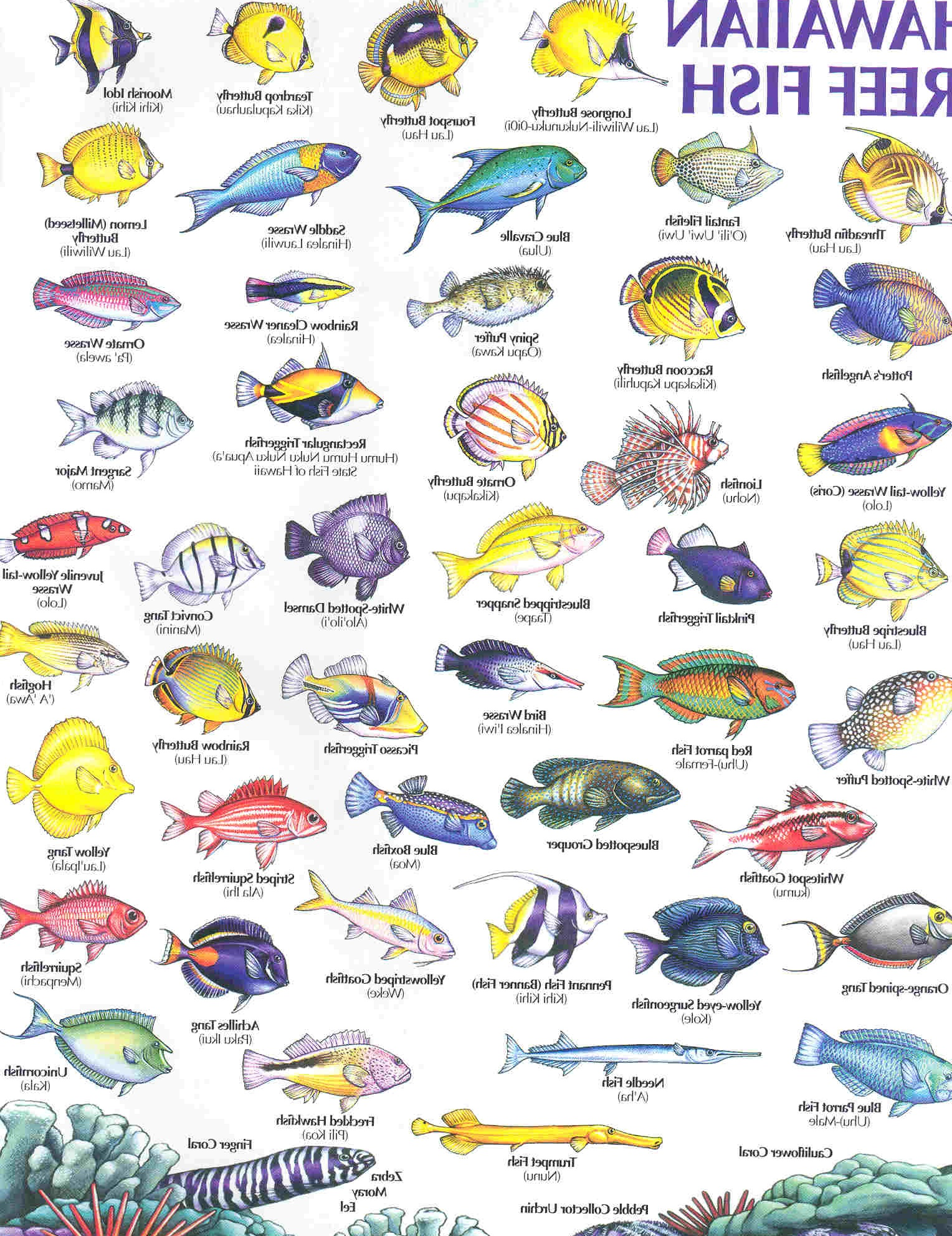 Reef fish pictures on animal picture society for Hawaiian reef fish