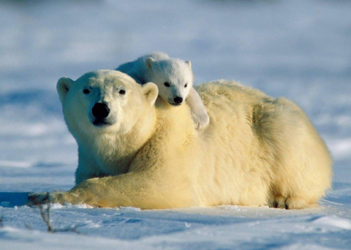 Polar Bear endangered population