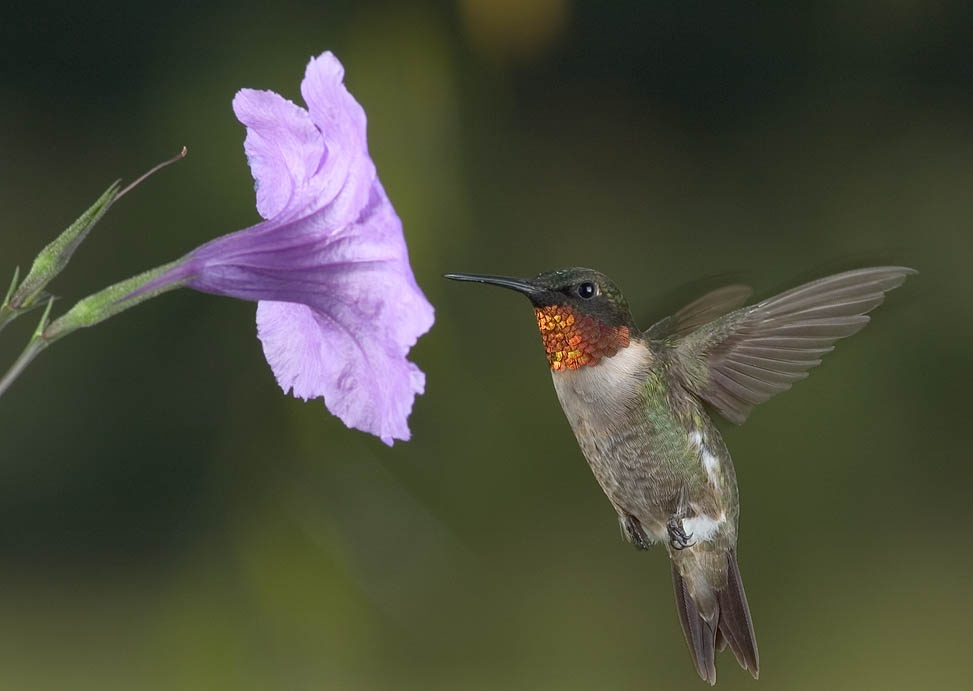 FREE HUMMINGBIRD WALLPAPER(1024x768)