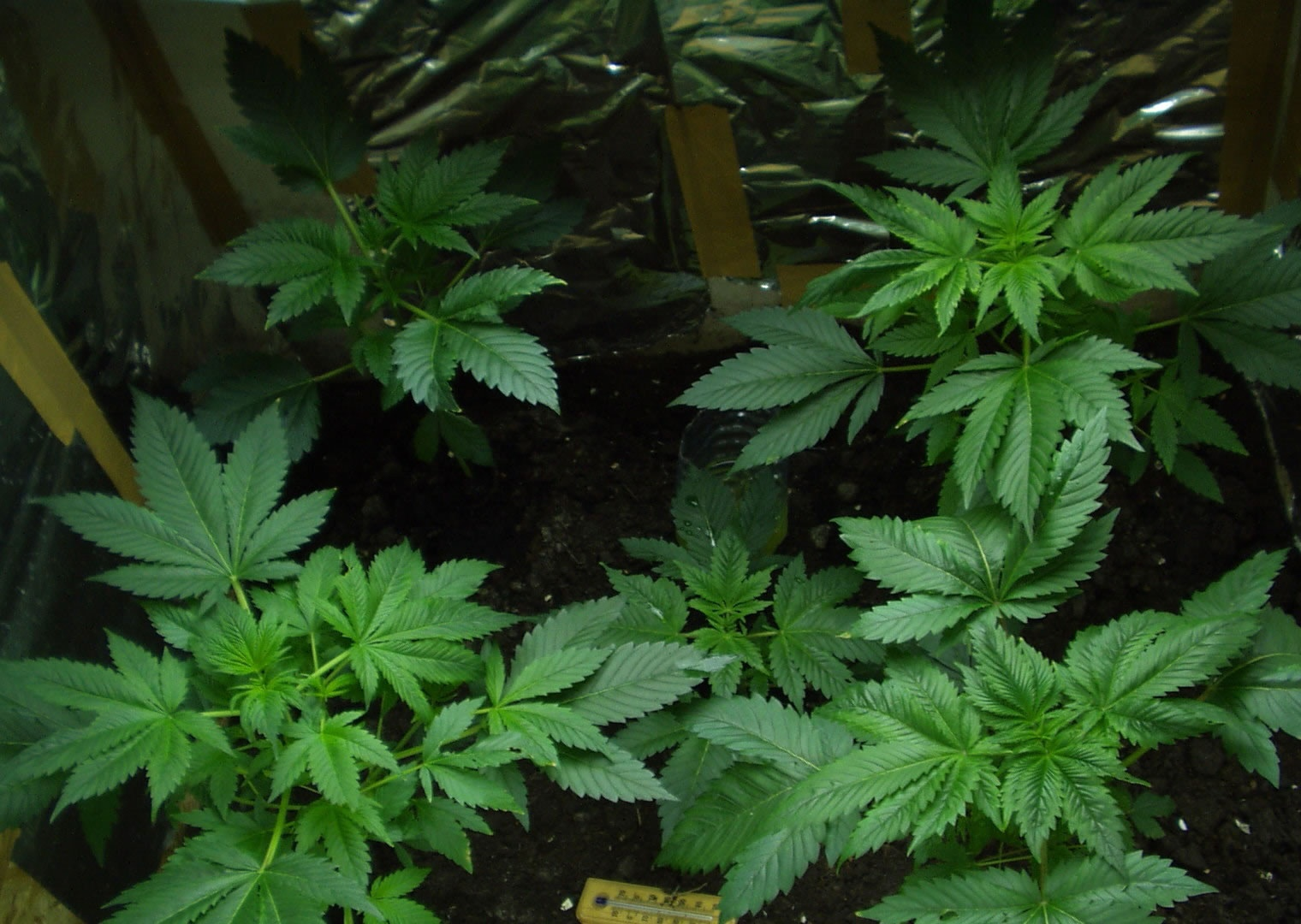 pictures of marijuana seedlings / s2.jpg