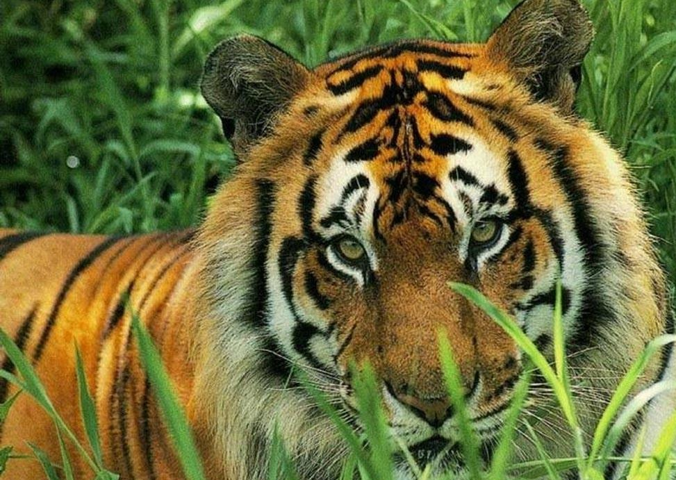 ... , wallpapers, fotos y fondos de escritorio de Animales Tigres - Tigre