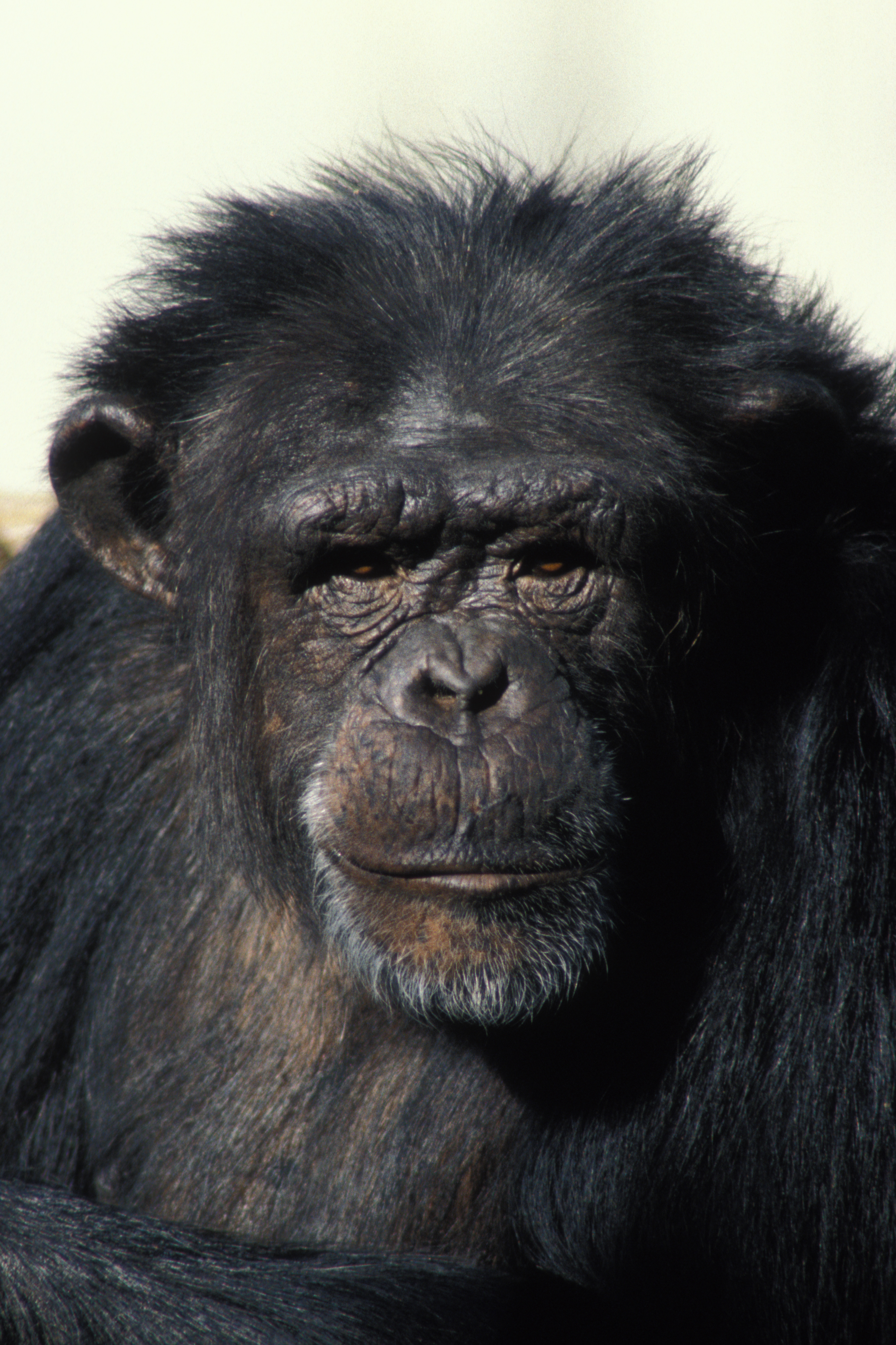 Chimpanzee Images | Crazy Gallery