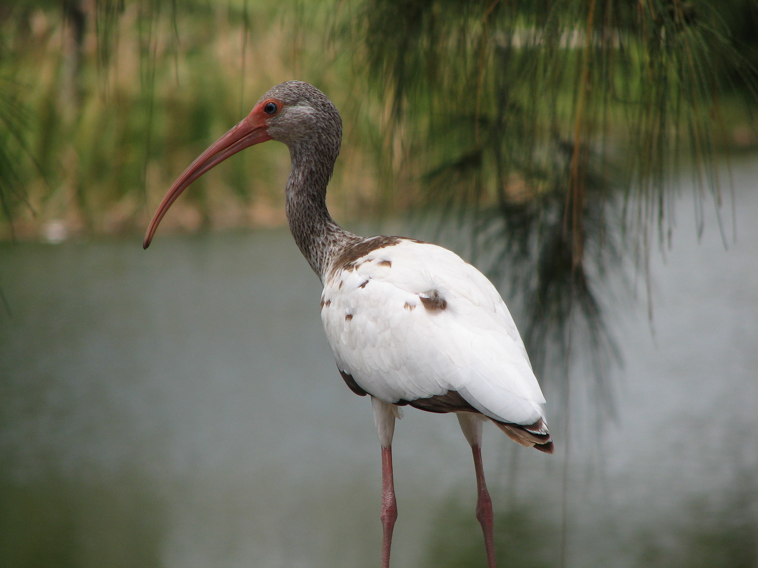 American White Ibis photo: Juvenile White Ibis on handrail | the ...