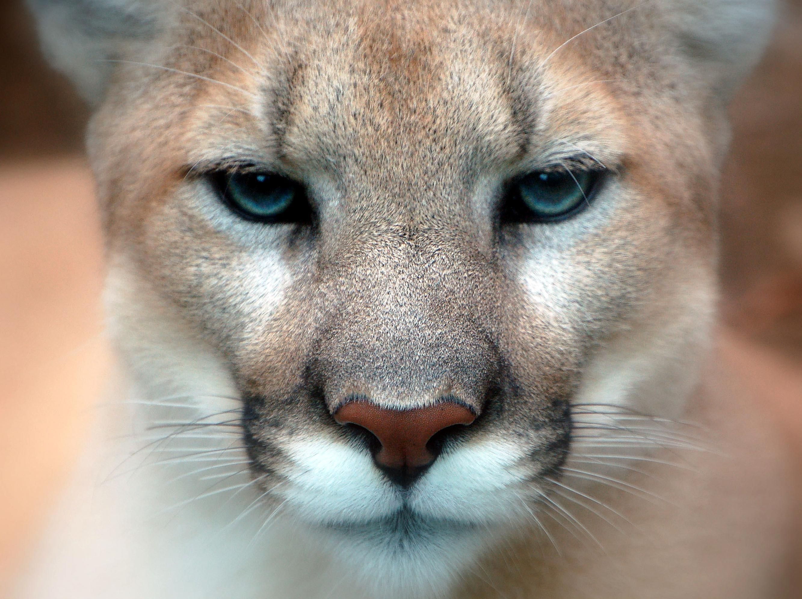 picture of a cougar