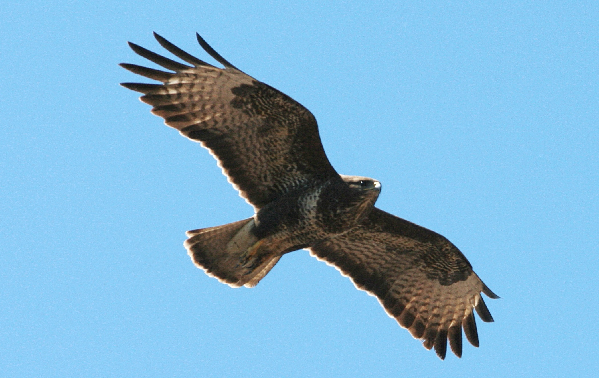 pictures of buzzards in flight