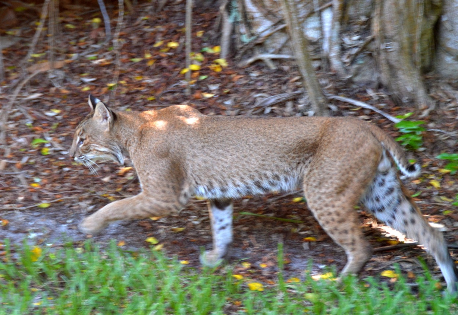 florida bobcat pictures