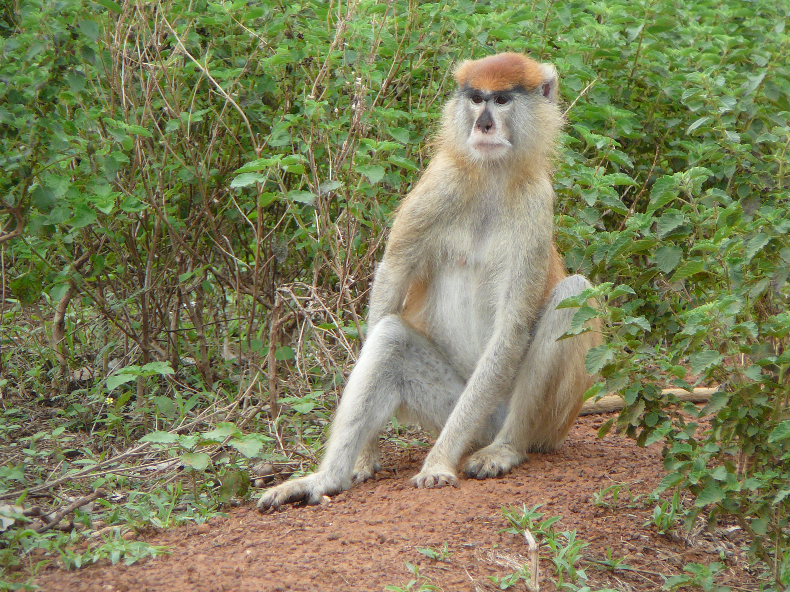 Description Patas Monkey in Mole National Park, Northern Region, Ghana ...