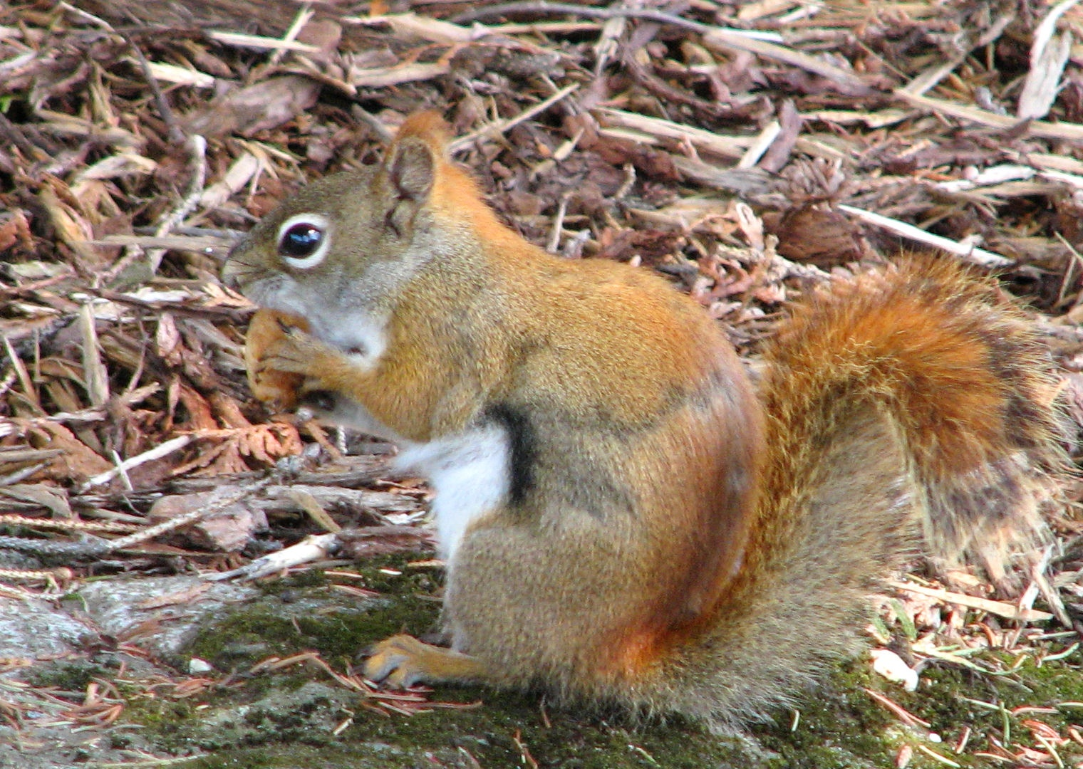 Description Red squirrel with nut.jpg