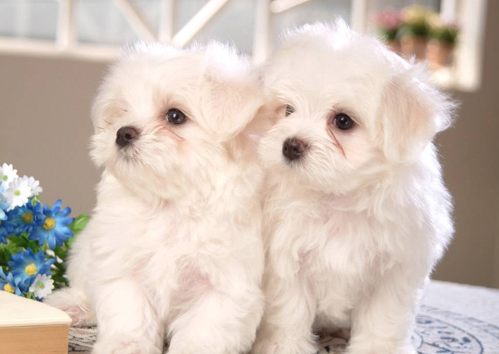 cute two little maltese-puppies, cute two little maltese-puppies