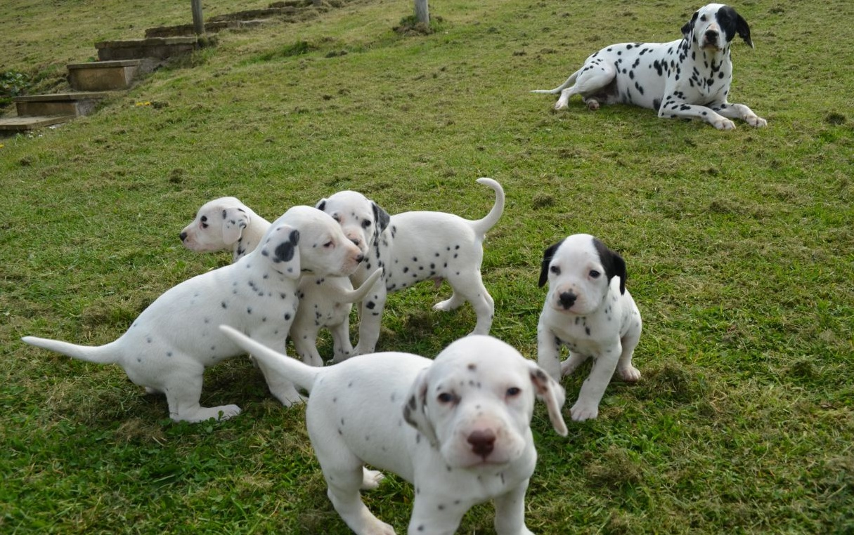pictures of dalmatians puppies