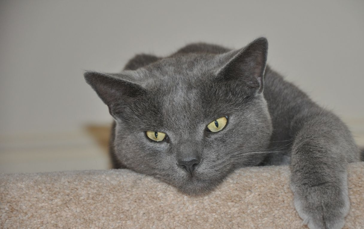Russian Blue cat for sale | Malvern, Worcestershire | Pets4Homes