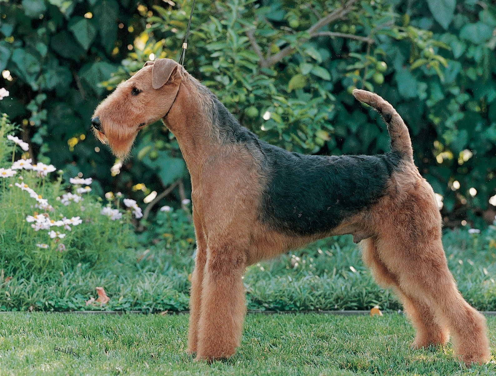 pictures of airedales
