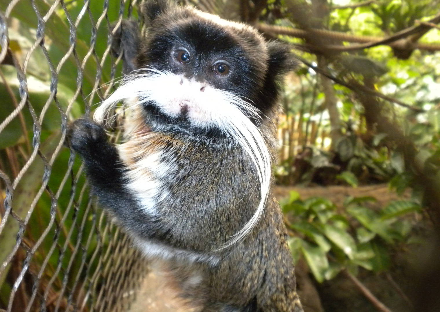 Emperor Tamarin » Dallas World Aquarium Gallery