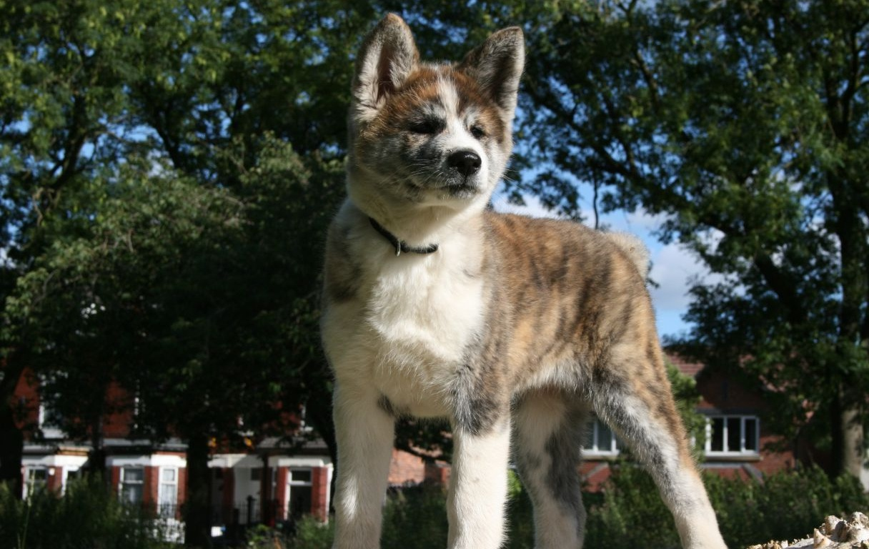 pictures of japanese akita dogs