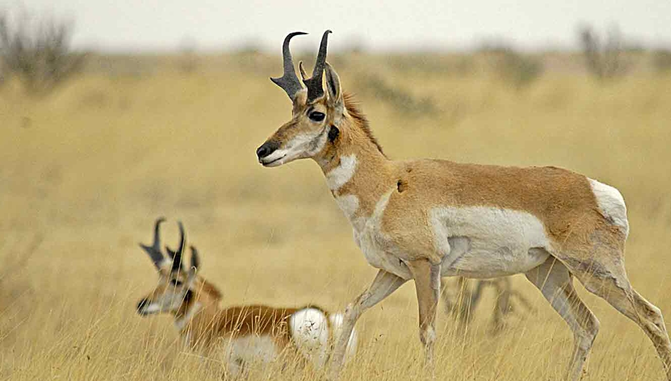 Pronghorn — Texas Parks & Wildlife Department