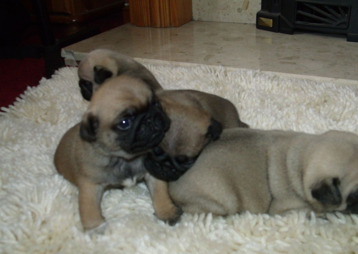 PUGS FOR SALE 1000 | Bristol, Bristol | Pets4Homes