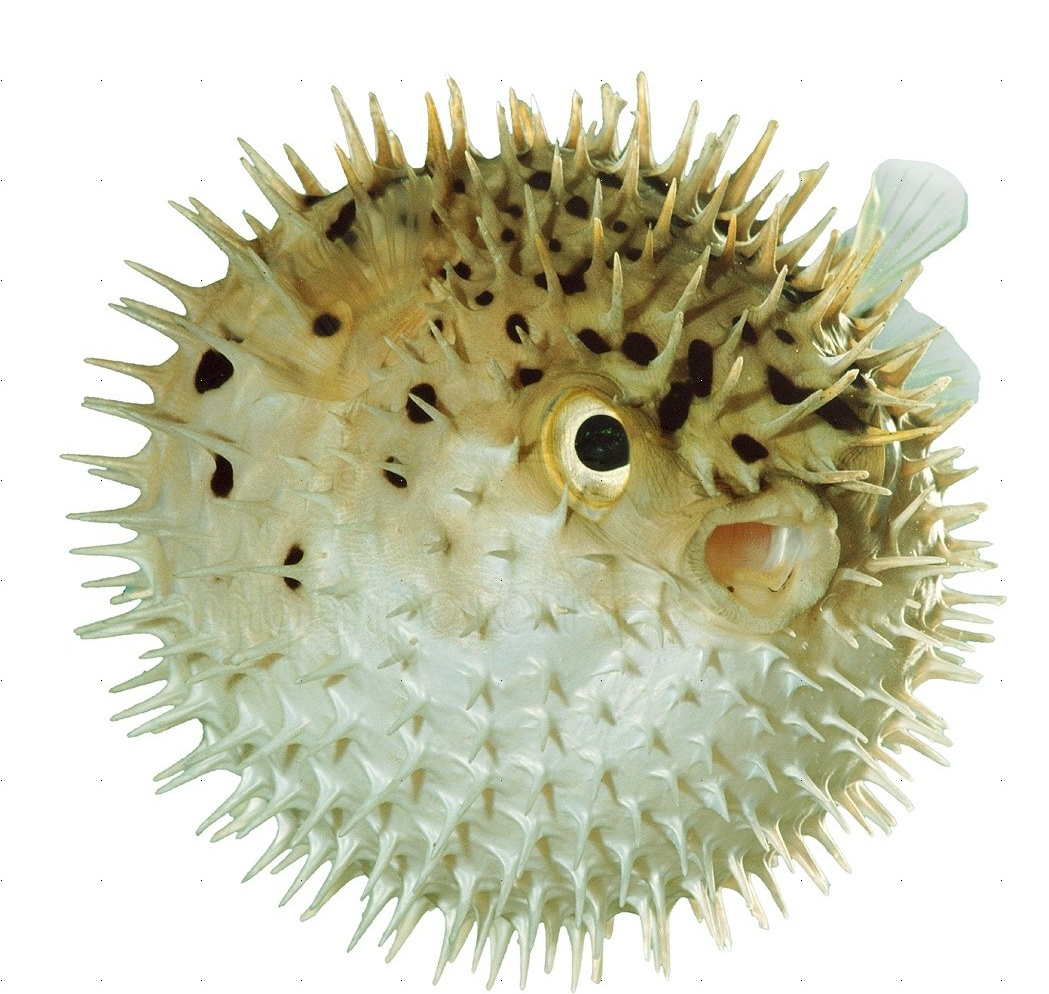 Download 0 for Puffer fish images